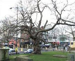 Catalpa - The catalpa tree in Reading, Berkshire, England