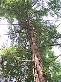 Thumbnail image of an Eastern Hemlock in Cathedral State Park