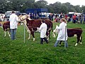 Cattle, 109th Poynton Show - geograph.org.uk - 1466386.jpg