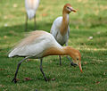 Cattle Egret (Bubulcus ibis) in Hyderabad W IMG 8248.jpg