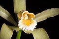 Cattleya forbesii 'Prazer' Lindl., Coll. Bot.- t. 37 (1826) (26265765369).jpg