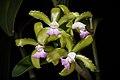 Cattleya tigrina fma. lilacina A.Rich., Portef. Hort. 2 166 (1848) (43769017664).jpg