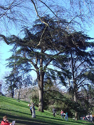Parc des Buttes Chaumont - A cedar of Lebanon (Cedrus libani) in the Parc des Buttes-Chaumont.