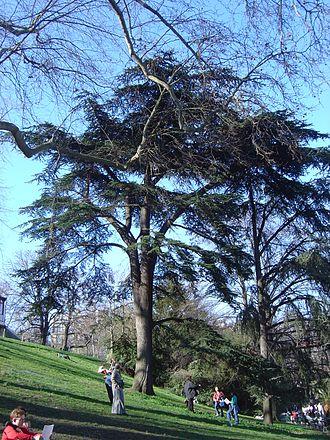Parc des Buttes Chaumont - A cedar of Lebanon (Cedrus libani) in the Parc des Buttes-Chaumont.