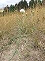 Centaurea stoebe sl12.jpg