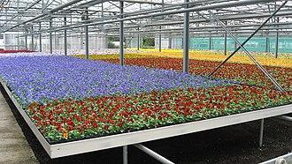 Pansy - Pansies produced for the bedding market