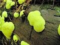 Ceratiomyxa Yuzhno-Sakhalinsk, Russia. 2.jpg