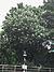 Cerbera manghas.jpg