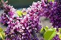 Cercis chinensis Avondale 12zz.jpg