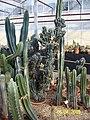 Cereus (3425021810).jpg