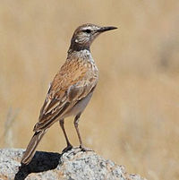 Certhilauda subcoronata -Northern Cape, South Africa-8.jpg