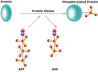 Protein kinase enzyme that adds phosphate groups to other proteins