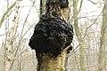 Chaga Mushroom - Inonotus obliquus (40358524662).jpg
