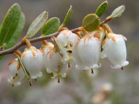 Chamaedaphne calyculata.jpg