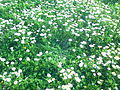 Chamomile Flowers Grow Naturally in Redjas (Algeria) 3.jpg