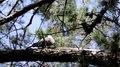 File:Channel-billed Cuckoo (Scythrops novaehollandiae) juvenile being fed, 03.ogv