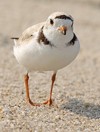 Piping plover - On the Atlantic coast, Cape May, New Jersey, USA