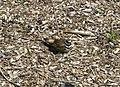 Charadrius vociferus -Lisle, Illinois, USA -nest-8.jpg