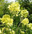 Charlock (Sinapis arvensis) Summerfields. (3500411641).jpg
