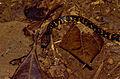 Checkerbelly Snake (Siphlophis cervinus) (10673712273).jpg