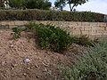 Cheirolophus crassifolius Sliema Triq it-Torri Cv.jpg