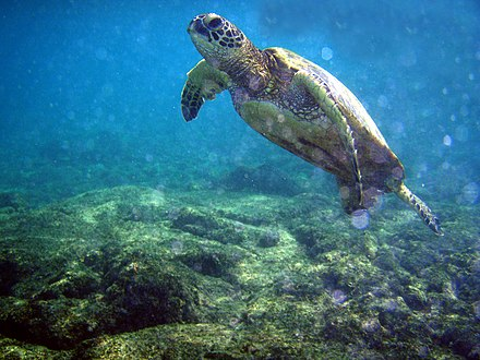 Green turtle Chelonia mydas and bubbles.jpg