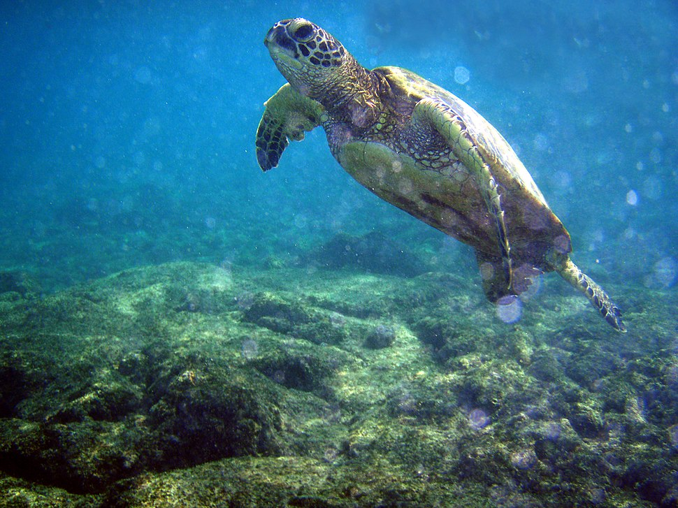Chelonia mydas and bubbles