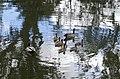 Chenonetta jubata family 1.jpg