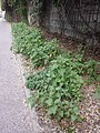 Chenopodium murale sl55.jpg
