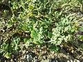 Chenopodium vulvaria sl103.jpg