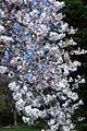 Cherry blossoms 0007 - 2012-03-15 (6995023325).jpg