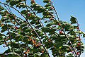 Cherry tree moving in the wind 5.jpg