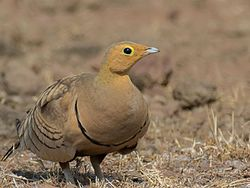 Chestnut-bellied Sandgrouse.jpg