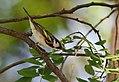Chestnut-sided Warbler (33928289583).jpg