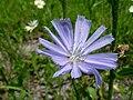 Chicory flower (SC woodlot) 2.JPG