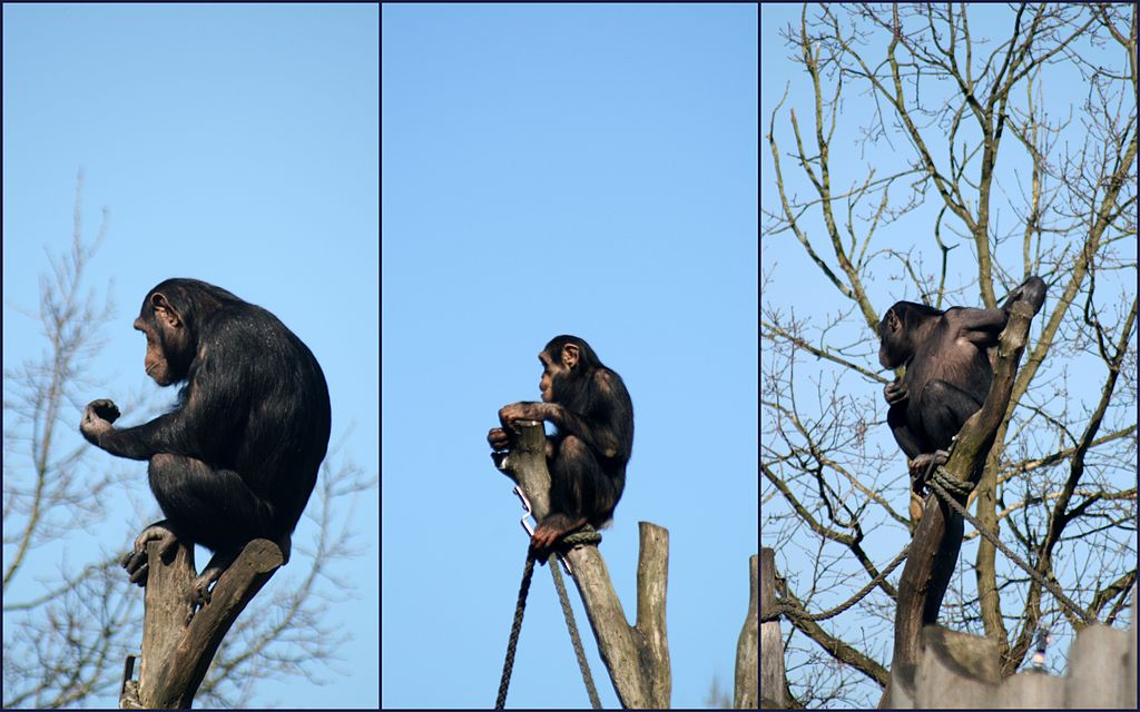 File Chimps At Munster Zoo 2011 Jpg Wikimedia Commons