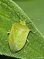 Chinche verde (Nezara viridula).jpg