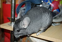 Chinchilla 4.JPG