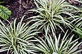 Chlorophytum comosum 14zz.jpg
