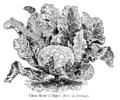 Chou-fleur d'Alger Vilmorin-Andrieux 1904.png