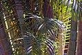 Chrysalidocarpus lutescens 4zz.jpg