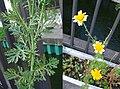 Chrysanthemum coronarium 2.jpg