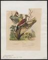 Chrysocolaptes haematribon - 1838 - Print - Iconographia Zoologica - Special Collections University of Amsterdam - UBA01 IZ18700173.tif