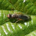 Chyliza sp. - A Psilid Fly - Flickr - S. Rae.jpg