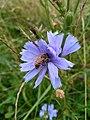 Cichorium intybus blossom with bee 2.jpg