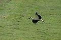 Ciconia ciconia flight 01.jpg