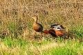 Cinnamon teal pair on Seedskadee NWR 02 (14114521329).jpg