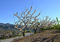 Cirerers en flor a la Vall de Gallinera.JPG