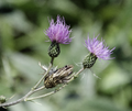 Cirsium monspessulanum flower.png