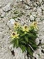 Cirsium spinosissimum (2).JPG